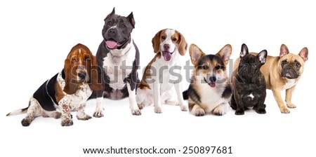 group of dogs,  welsh corgi, beagle, basset #250897681
