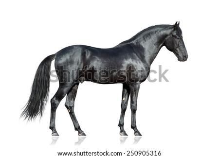 Black horse on white. Black horse isolated. Black horse isolated on white background.