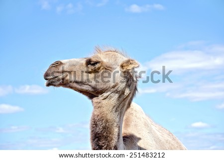 Bactrian camel brown on a background of blue sky and clouds #251483212
