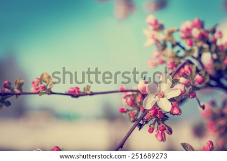 Blossom tree over nature background/ Spring flowers/Spring Background Royalty-Free Stock Photo #251689273