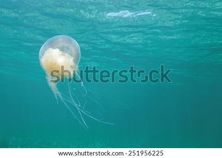 Pink Meanie jellyfish, Drymonema larsoni, underwater close to the surface, Caribbean sea