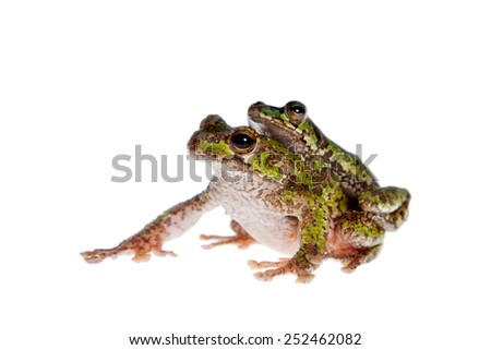 Polypedates duboisi, flying tree frog on white #252462082