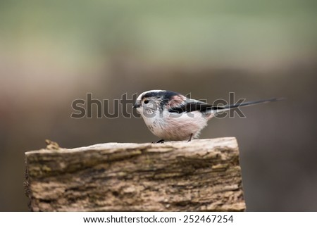 long tailed tit with food in bill #252467254