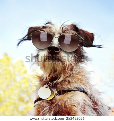 a cute chihuahua terrier mix with sunglasses on at a park or backyard  #252482026