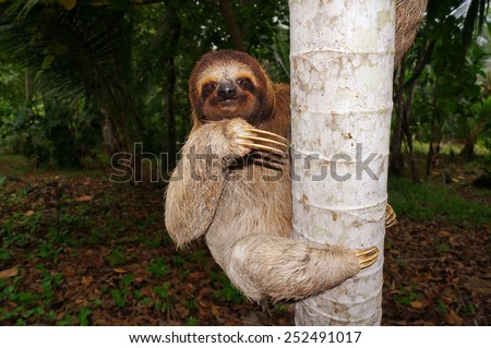 Three-toed sloth climbing on tree trunk, Panama, Central America