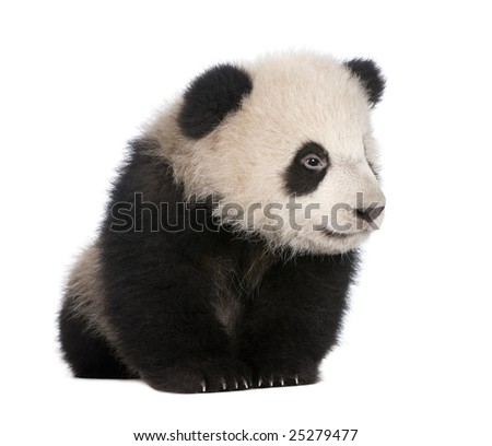 Giant Panda  (6 months)  - Ailuropoda melanoleuca in front of a white background #25279477