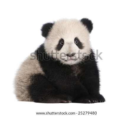 Giant Panda  (6 months)  - Ailuropoda melanoleuca in front of a white background #25279480