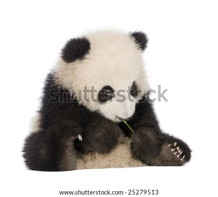Giant Panda  (6 months)  - Ailuropoda melanoleuca in front of a white background #25279513
