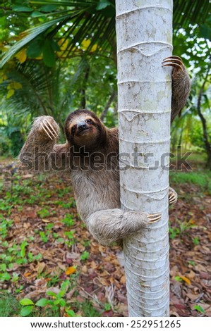 Brown-throated sloth climbing on a tree, Panama, Central America