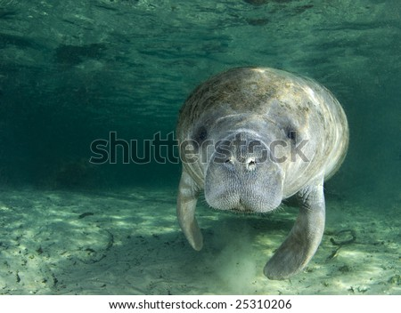 A manatee (Trichechus manatus latirostrus) swims along underwater in the springs of Crystal River, Florida