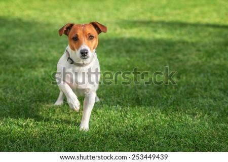 jack russel on green lawn #253449439