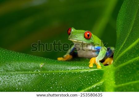 Red-Eyed Amazon Tree Frog on Large Palm Leaf/Red-Eyed Amazon Tree Frog/Red-Eyed Amazon Tree Frog (Agalychnis Callidryas) #253580635