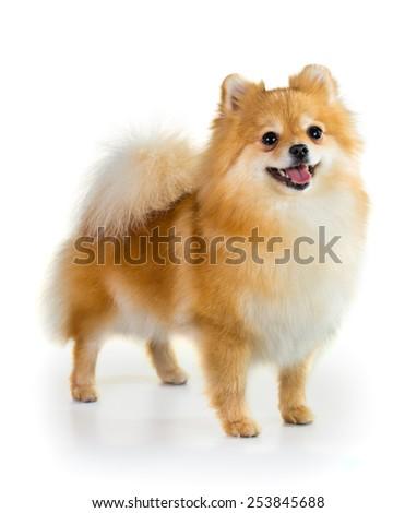 Portrait of a Pomeranian dog over white background #253845688