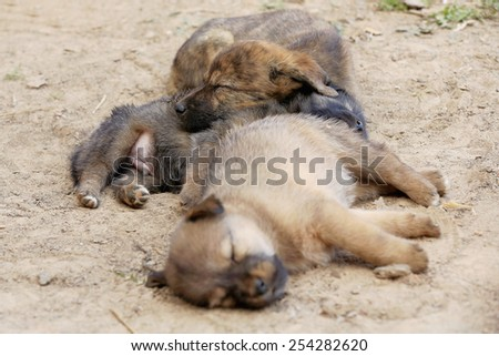 Three puppy dogs sleeping on the floor of a street in the old city area. Dhulikhel-Kavrepalanchok district-Bagmati Zone-Nepal. #254282620