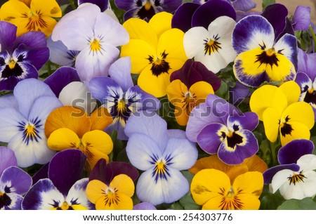 mixed pansies in garden