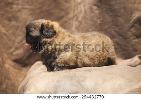 pekingese cute dog puppy #254432770