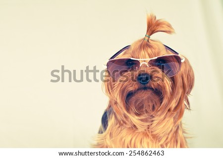 Yorkshire terrier portrait in pink sunglasses looking at camera #254862463