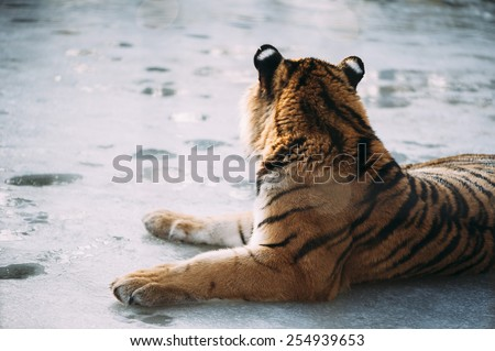 Adorable cute tiger lying on the frozen lake in the Zoo in Austria Royalty-Free Stock Photo #254939653