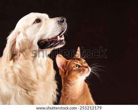 Cat and dog, abyssinian kitten and golden retriever looks at right. Royalty-Free Stock Photo #255212179