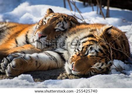 Siberian Tigers Sleeping #255425740