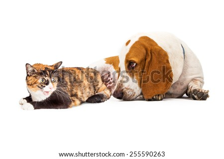 A curious Basset Hound Dog laying next to an angry Calico cat #255590263