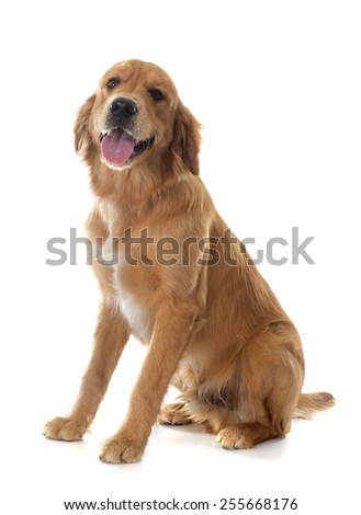 young golden retriever in front of white background #255668176