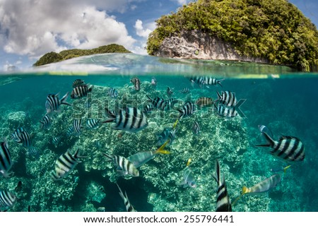 Damselfish swim in shallow water in Palau's inner lagoon. Palau is known for its beautiful rock islands, prolific marine life, and world class scuba diving and snorkeling. #255796441