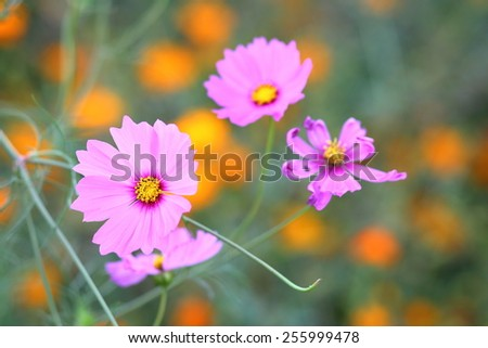 Pink cosmos flowers in garden close up #255999478
