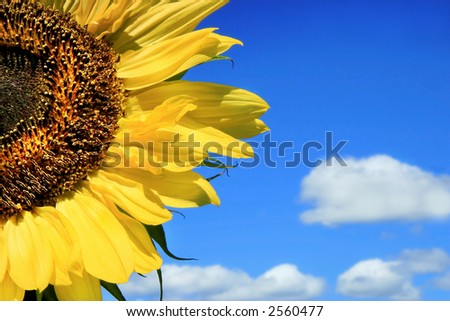 Sunflower and clouds against a blue sky #2560477