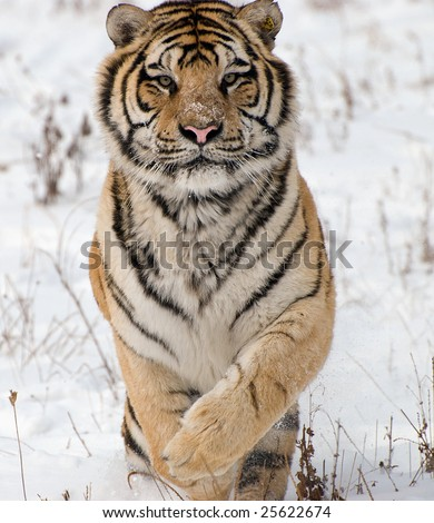 Siberian Tiger pictured in the winter snow in Harbin, China.