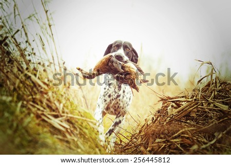 auvergne pointing dog running and hunting with duck Royalty-Free Stock Photo #256445812