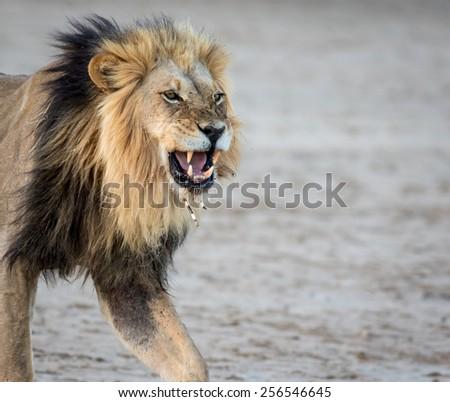 Male Lion Porcupine Needle face #256546645