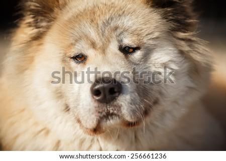 Akita inu with brown eyes, old dog #256661236