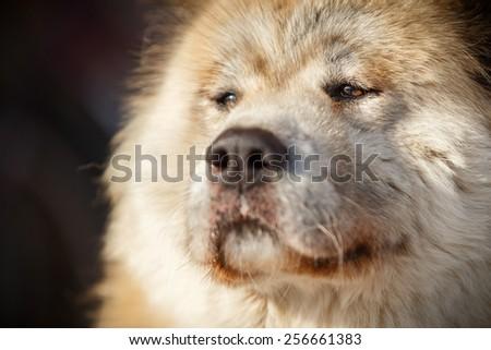 Akita inu with brown eyes, old dog #256661383