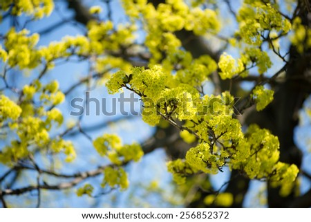 Blooming Norway Maple (Acer platanoides) against Blue Sky, backlite #256852372