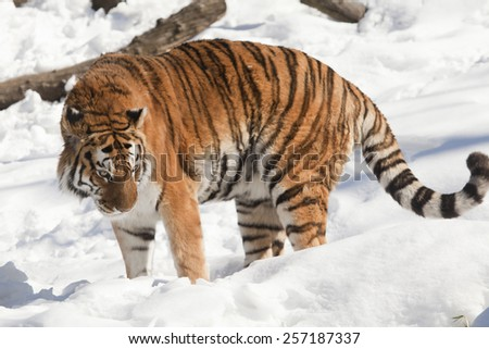 The Siberian tiger is a tiger subspecies inhabiting mainly the Sikhote Alin mountain region with a small population in southwest Primorye province in the Russian Far East. #257187337