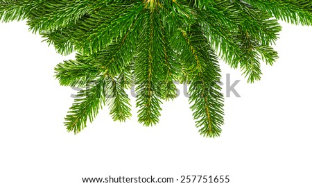decoration fir branches isolated on white #257751655