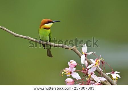 Chestnut-headed Bee-eater #257807383