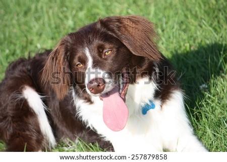 very cute liver and white collie cross springer spaniel pet dog #257879858