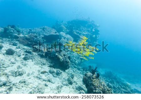 school of yellow fish #258073526