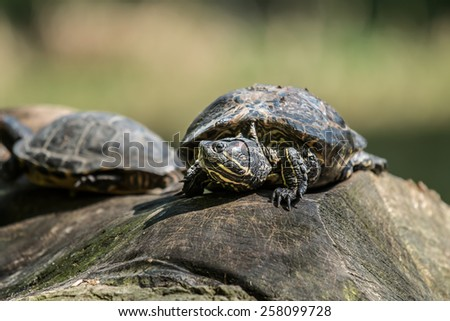 Turtles in the pond #258099728