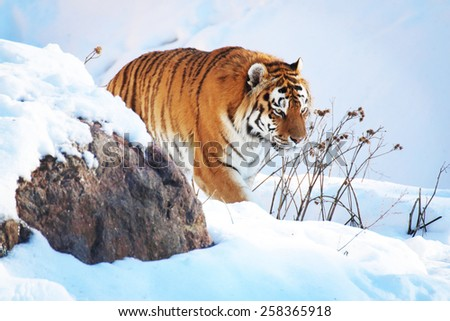 Tiger in the snow in the winter #258365918