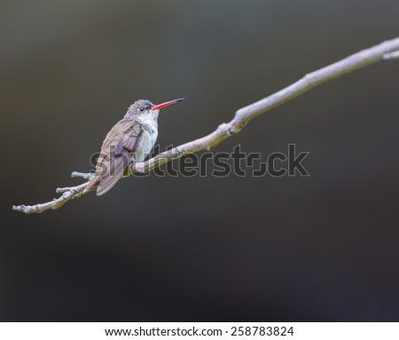 Violet Crowned Hummingbird. #258783824