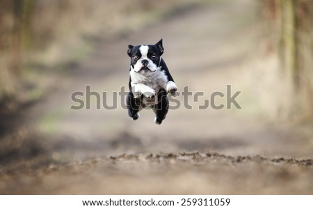 beautiful fun young boston terrier dog trick puppy flying jump and running crazy