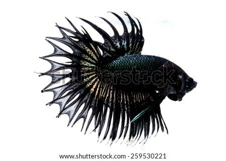 Betta fish on a white background. #259530221