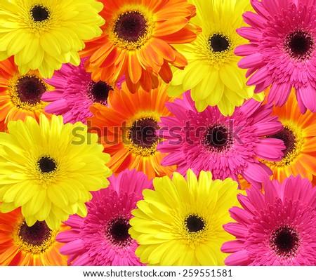 Colorful Gerber floral background #259551581