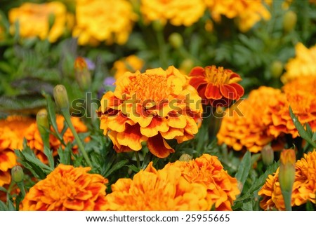 Marigolds in the sun #25955665