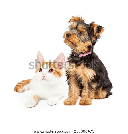 Cute little kitten and Yorkshire Terrier breed dog together looking off to the side #259806473