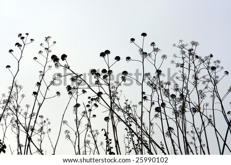 Silhouette view of several tall countryside plants.