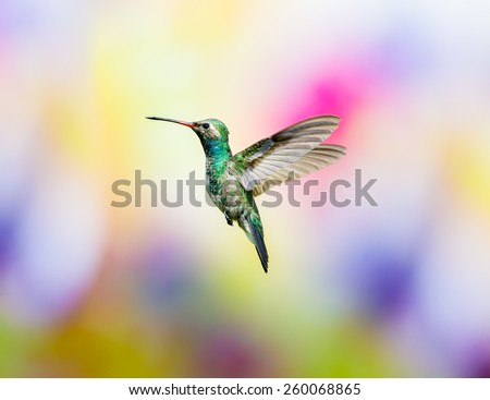 Broad billed Hummingbird. Hummingbird art and crafts. This is a new line of photos experimenting with different flowered backgrounds that give the shot that extra color.